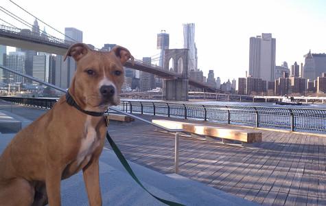 American Pitbull by Brooklyn Bridge