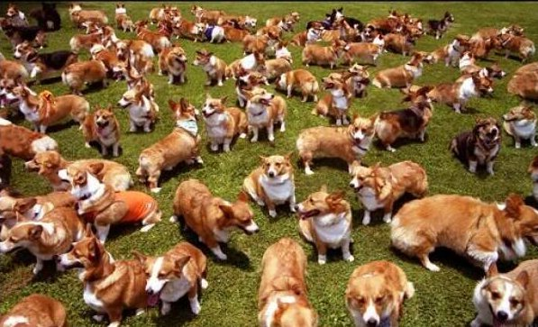 Corgis in the Park - one of the happiest events on the planet