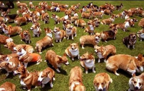 Corgis in the Park – one of the happiest events on the planet