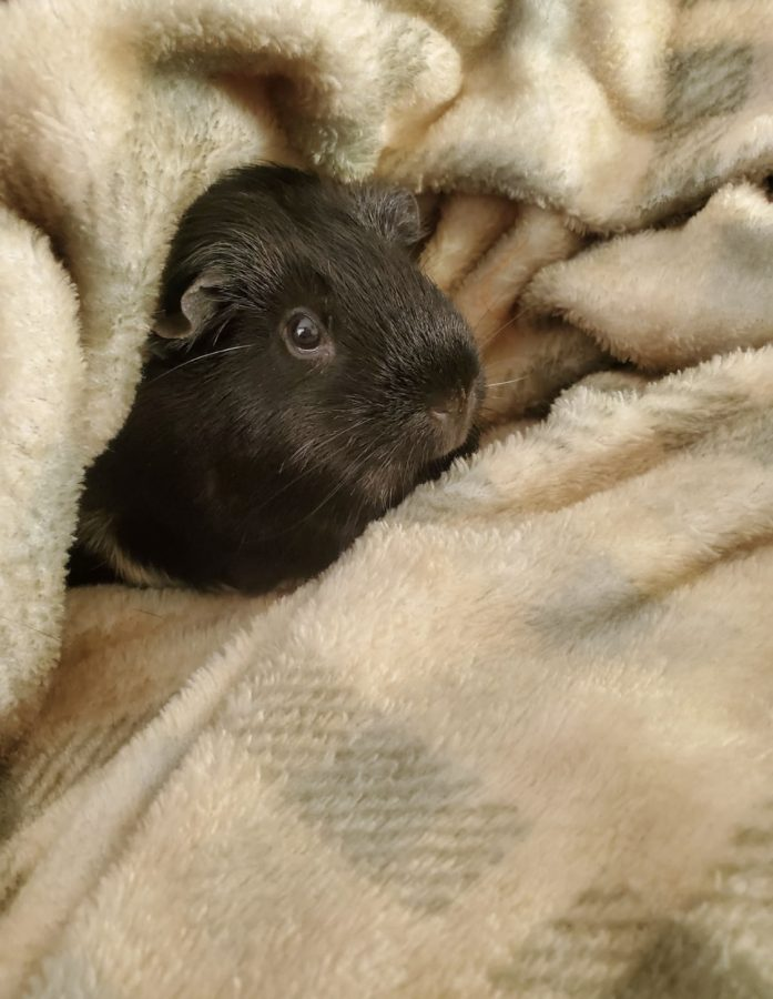 Guinea pigs can make great pets for the educated owner.